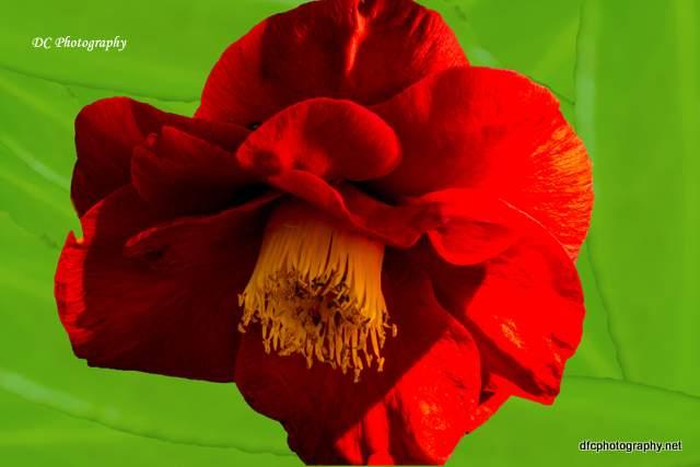 camellia_DSC7481