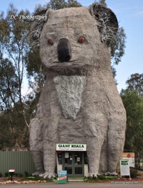 koala_155