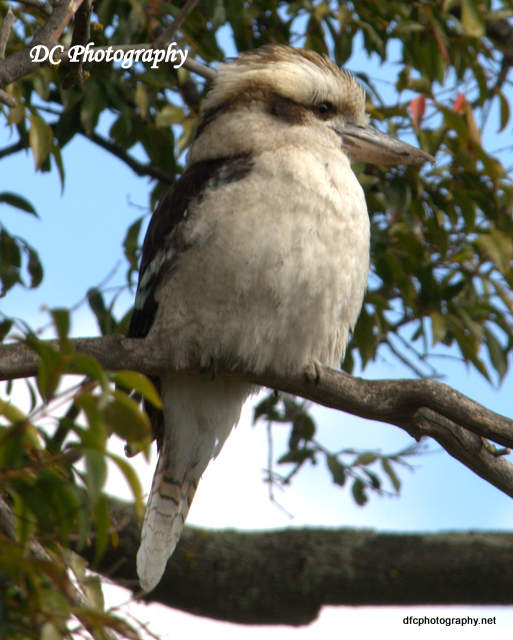 kookaburra_7429