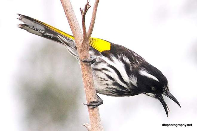 new-holland-honey-eater_0006