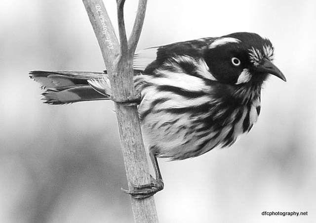 new-holland-honey-eater_0007