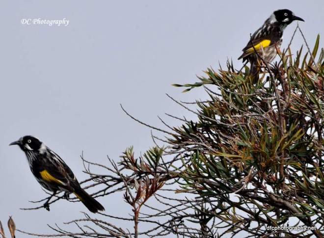 new-holland-honey-eater_0048