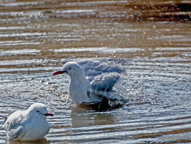 seagull_0058