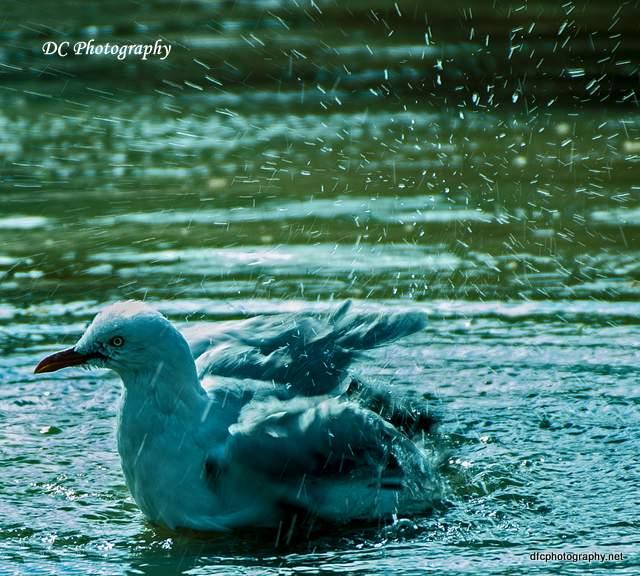 seagull_0059a