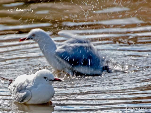 seagull_0064