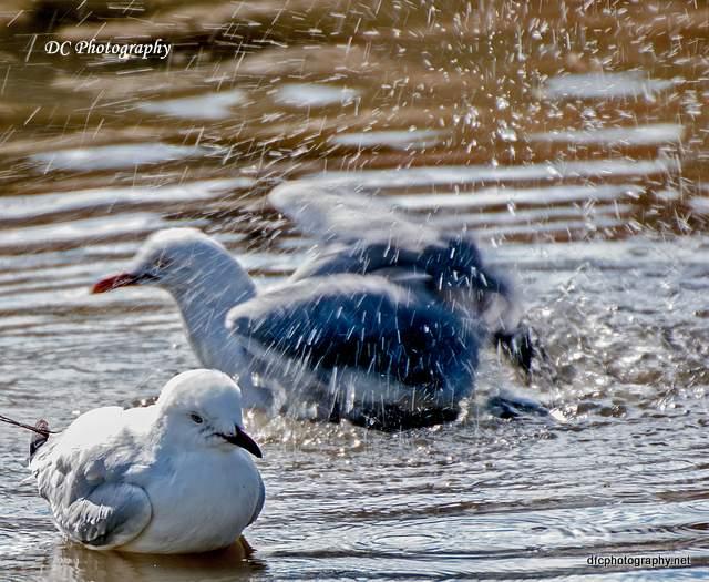 seagull_0066
