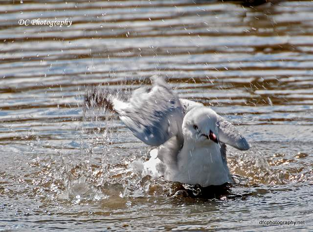 seagull_0083