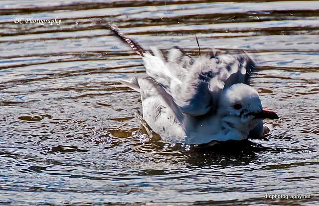 seagull_0091