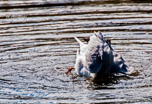 seagull_0093