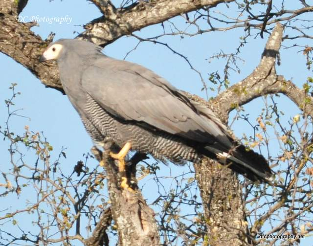 African-Harrier-Hawk_0129