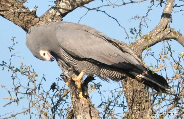African-Harrier-Hawk_0136