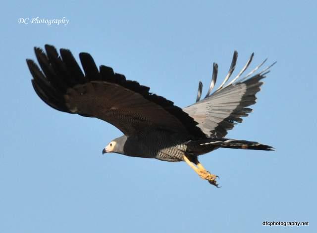 African-Harrier-Hawk_0144