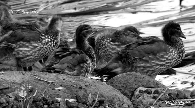 ducks_0042