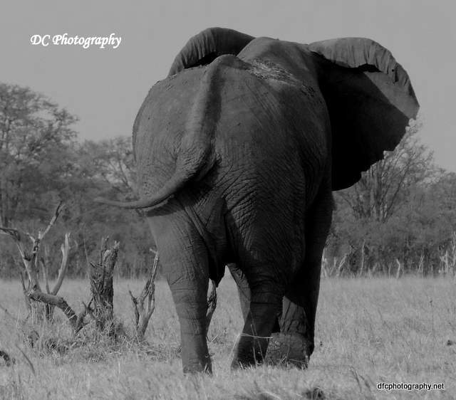 elephant_N2266