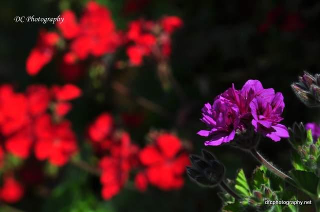 geranium_0048
