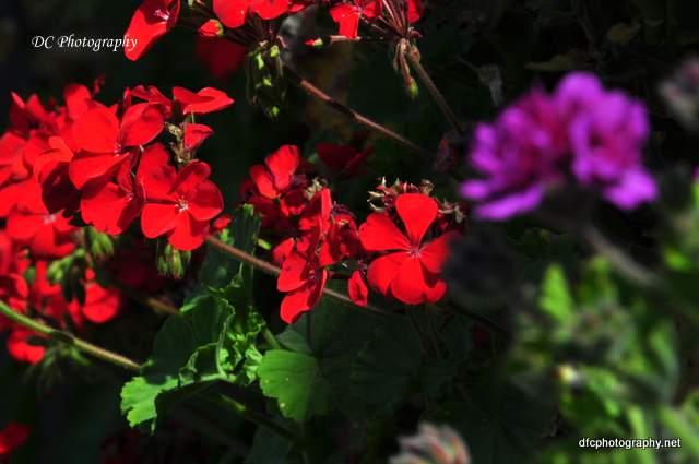 geranium_0049