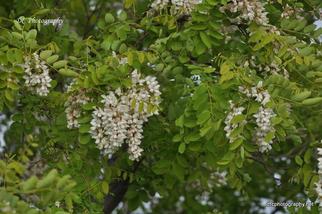 golden_robinia_0087