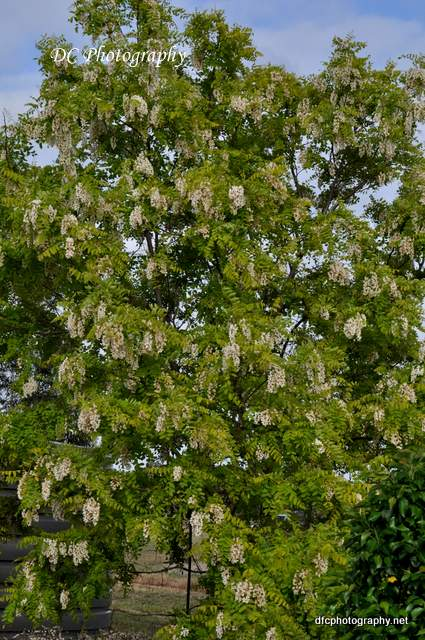 golden_robinia_0089