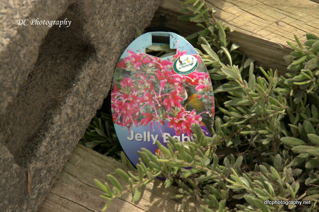 grevillia_jelly-baby_8062