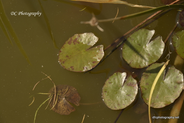 water-lillies_8074