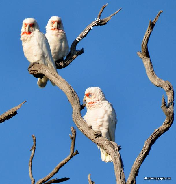 cockatoo-corella_0057