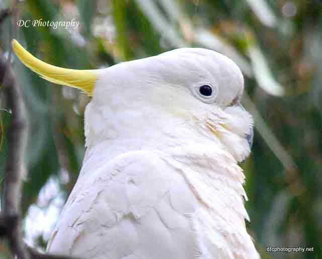 cockatoo_0516a