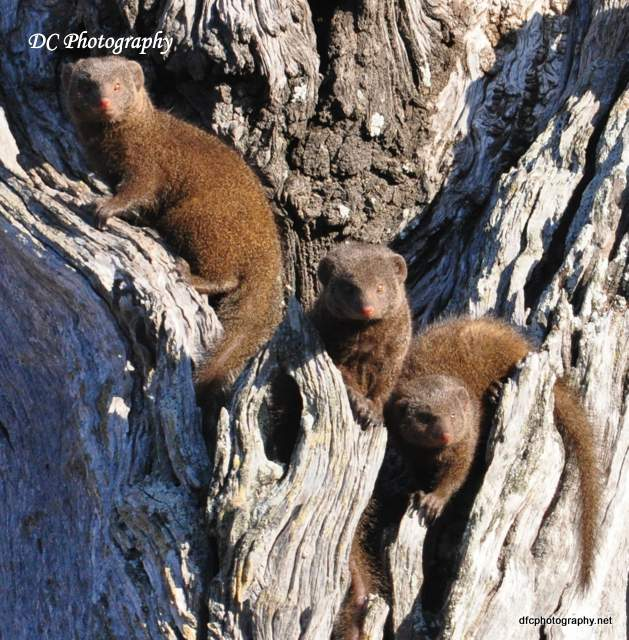 dwarf-mongoose_0035