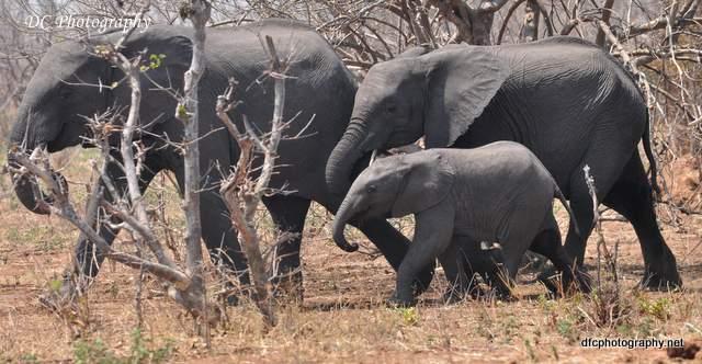 elephants_0855a
