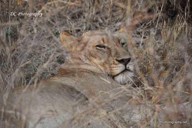 lionness_0965a