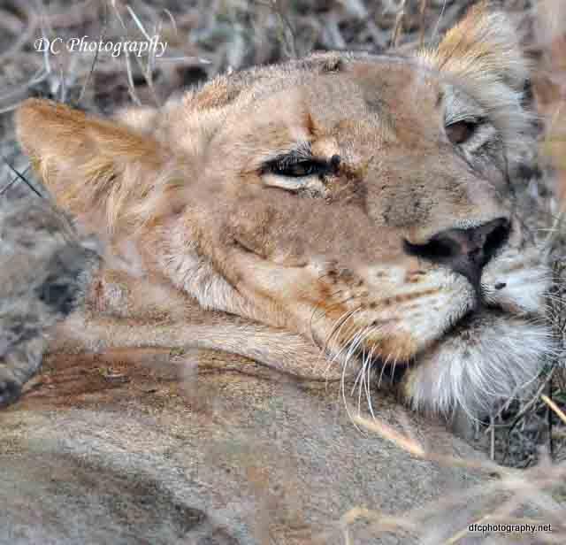 lionness_0968