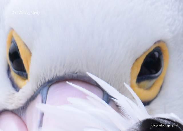 pelican_0502