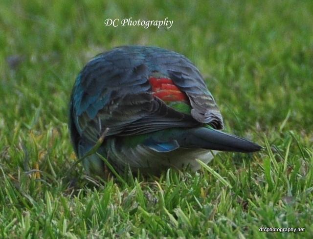 red-rump-parrot_0036