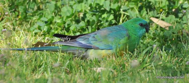 red-rump-parrot_0204