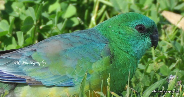 red-rump-parrot_0204a