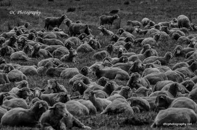 sheep_0111