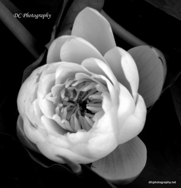 water-lilly_8124