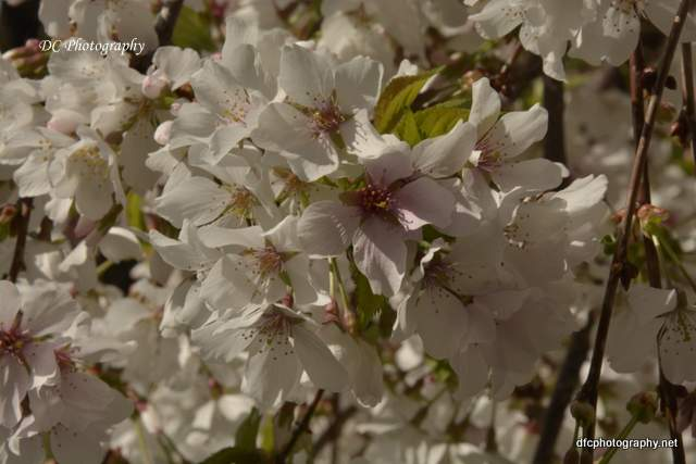 weeping-cherry_7840