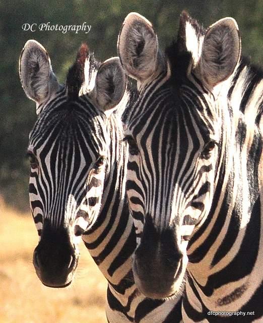 zebra_0049b