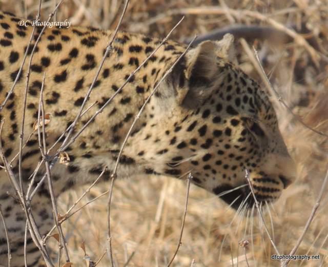 leopard_N2149