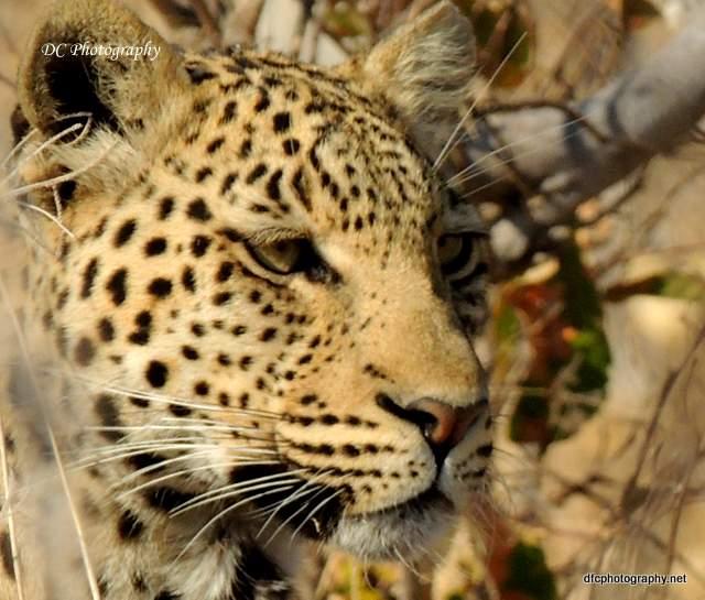 leopard_N2154