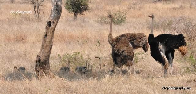 ostrich_0495