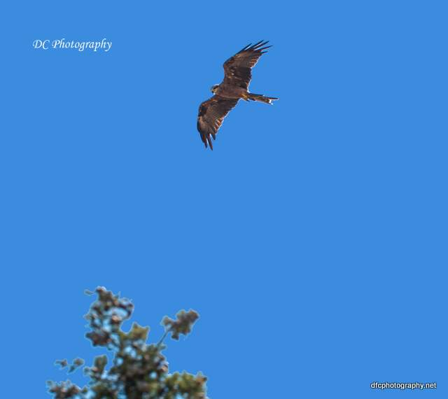 wedge-tail-eagle_0607