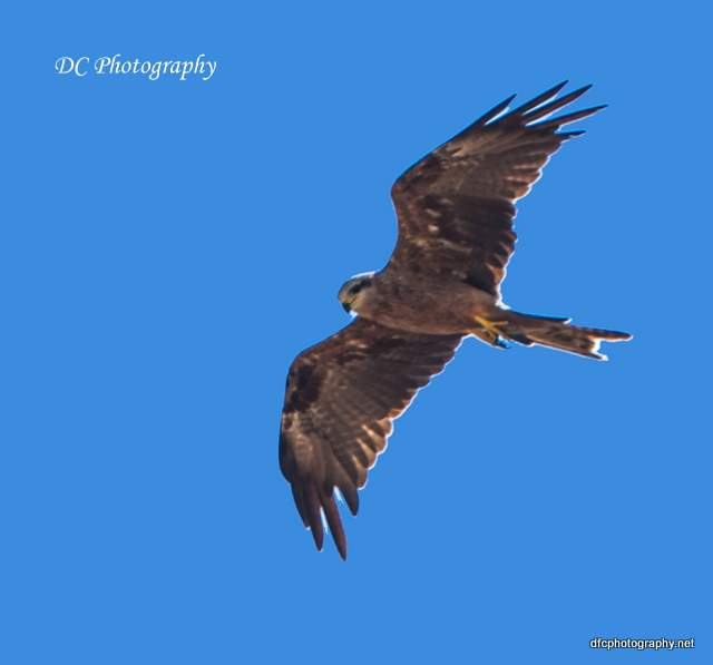 wedge-tail-eagle_0607a