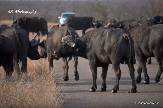 wildebeest_0202