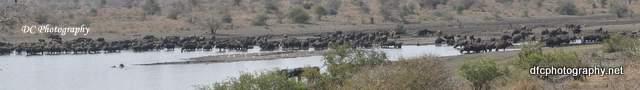 wildebeest_0343