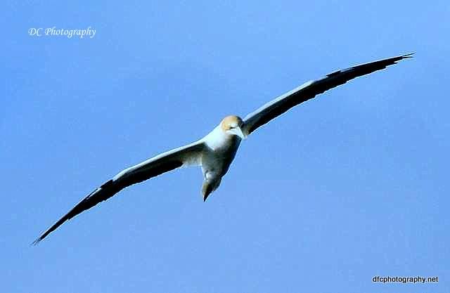 australian gannet_0229