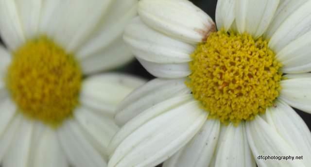 Daisy_1867