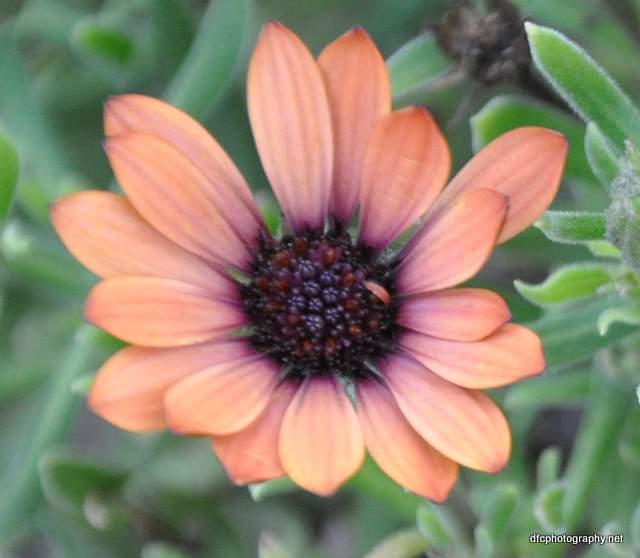 Daisy_1881