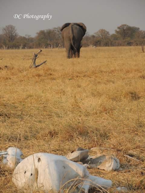 elephant_N2268