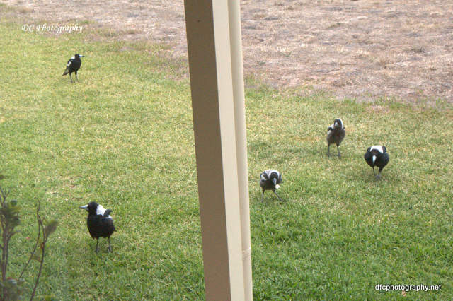 magpies_0798